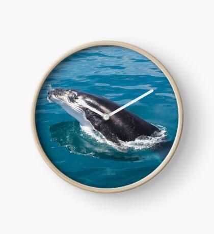 Humpback whale calf, Moreton Bay Clock