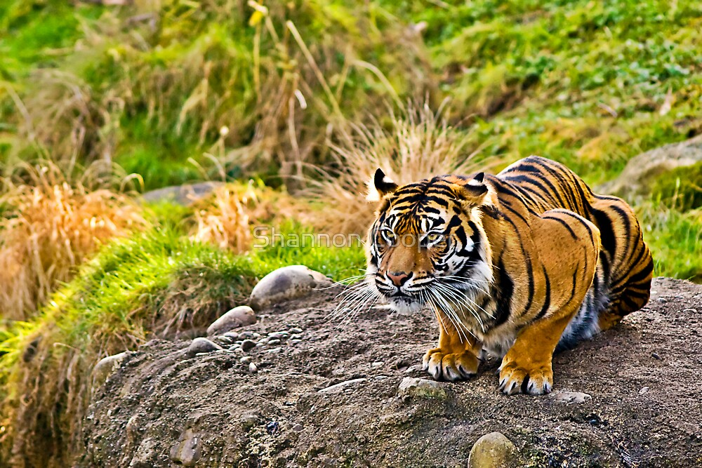 Crouching Tiger by Shannon Beauford
