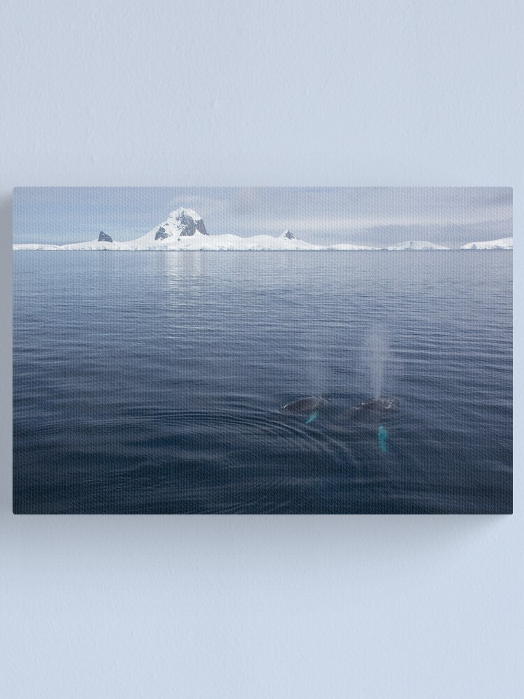 Alternate view of Humpbacks blowing Canvas Print