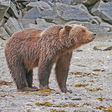 Alaskan Coastal Brown Bear by grmahyde