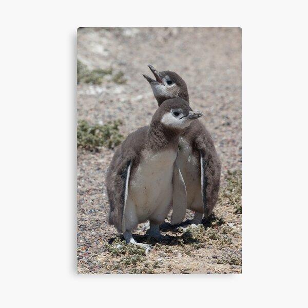 Magellanic Penguin chicks Canvas Print