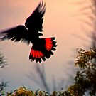 Black Cockatoo by AdamDonnelly