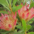Protea by MariaSG