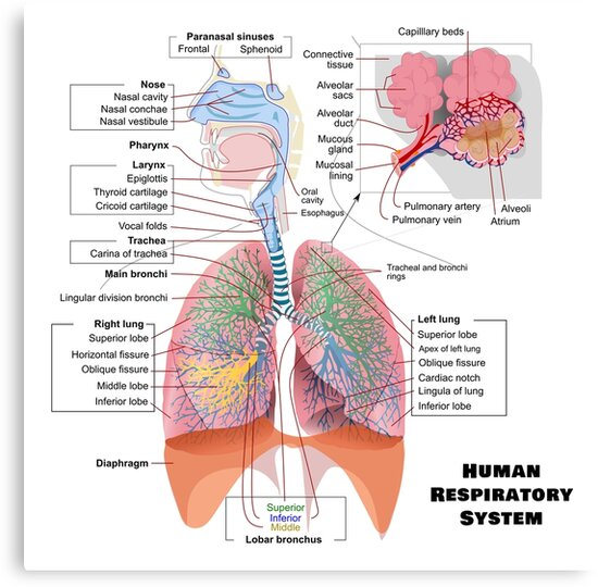 Human respiratory system diagram canvas prints by allhistory human respiratory system diagram by allhistory ccuart Image collections