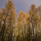 Tall trees by Angi Wallace