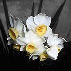 cute narcissus flowers by Shellaqua
