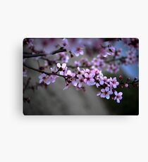 Cherry Blossoms of Spring Canvas Print