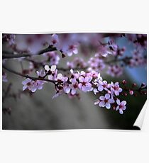 Cherry Blossoms of Spring Poster