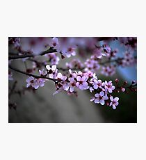 Cherry Blossoms of Spring Photographic Print