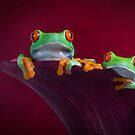 Two Red red tree frogs by Angi Wallace