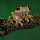 Gliding leaf frog by Angi Wallace