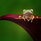 Lemur leaf frog on calla lily by Angi Wallace