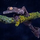 Giant leaf tailed gecko on branch by Angi Wallace
