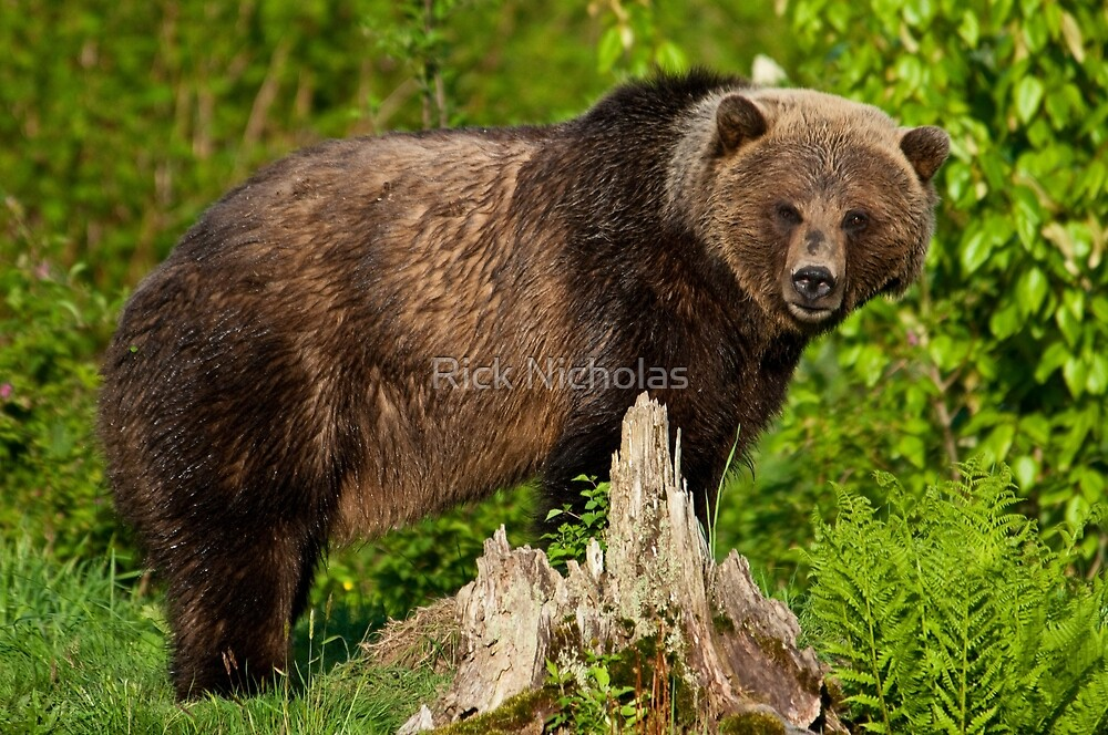 North American Grizzly Bear by Rick Nicholas