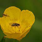 Tiny Flies & Buttercup by Robert Abraham
