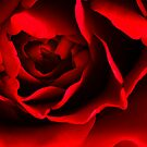 Red Rose by Dan Norcott