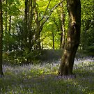 Bluebells in the woods by Angi Wallace
