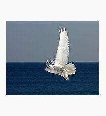 Snowy Owl in Flight #2 Photographic Print