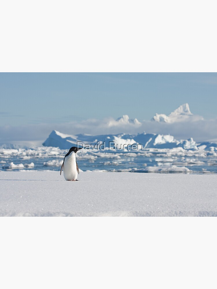 Adelie on Ice by DavidBurren