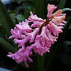 Perfumed Pink Hyacinth by BlueMoonRose
