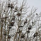 How many GB Herons do you see? by JWallace