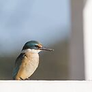 Sacred kingfisher by Sarah Guiton