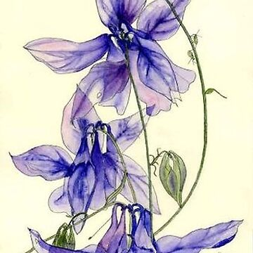 Blue Columbine flowers watercolour painting by esvb
