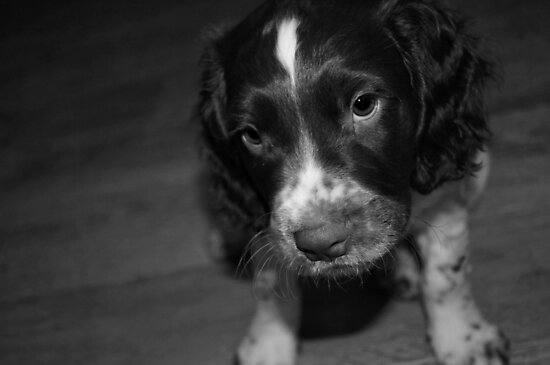 English Springer Spaniel Puppy in black and white by NevandtheTurnip