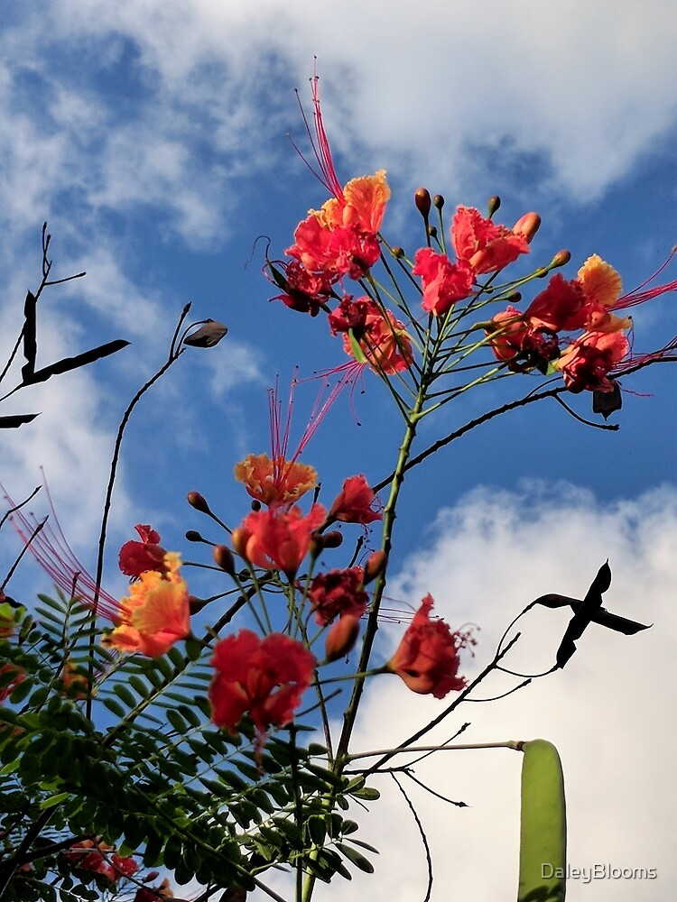 Pride of Barbados by DaleyBlooms
