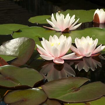 Water lilies - Nymphaea by Graphic-T