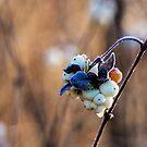 Winter Fruit by Carola Gregersen