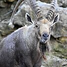 Masculine and Strong Horned Mammal by Barberelli
