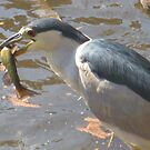 Heron Having a Snack by jsmusic