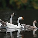 Swan geese (Anser cygnoides) by Stephen Liptrot