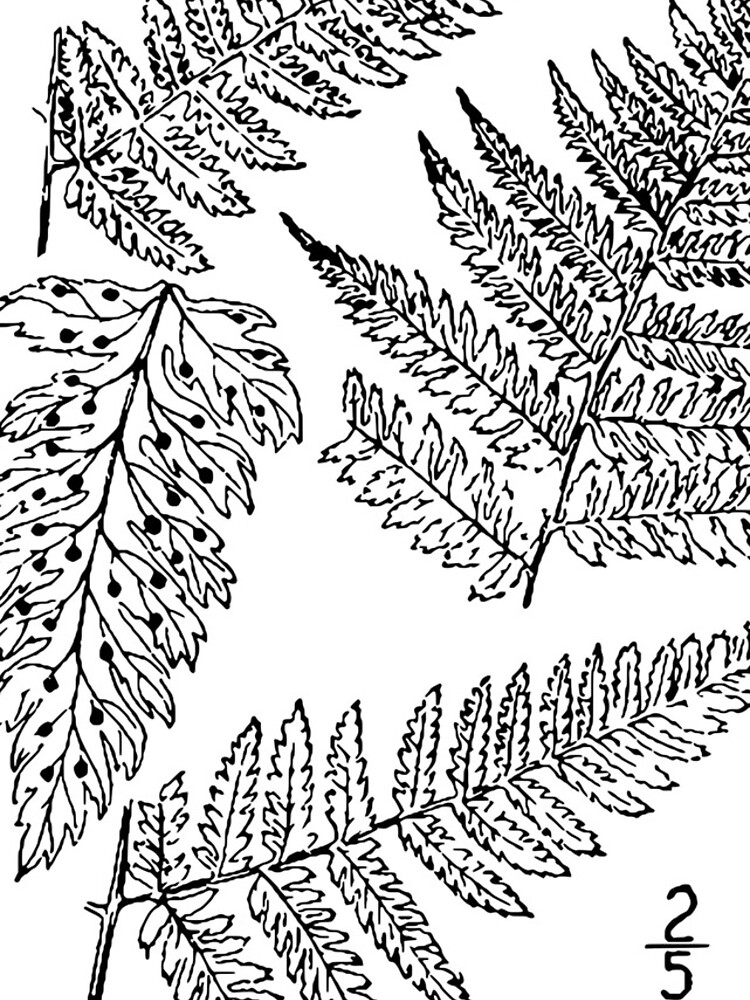 Botanical Scientific Illustration Black and White Fern by pahleeloola