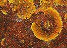 Crustose Lichen by George Parapadakis (monocotylidono)