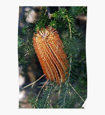 ~Banksia~ Poster