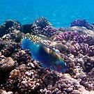 Chlorurus Sordidus Bullethead Parrotfish by hurmerinta