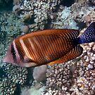 Red Sea Sailfin Tang 3 by hurmerinta