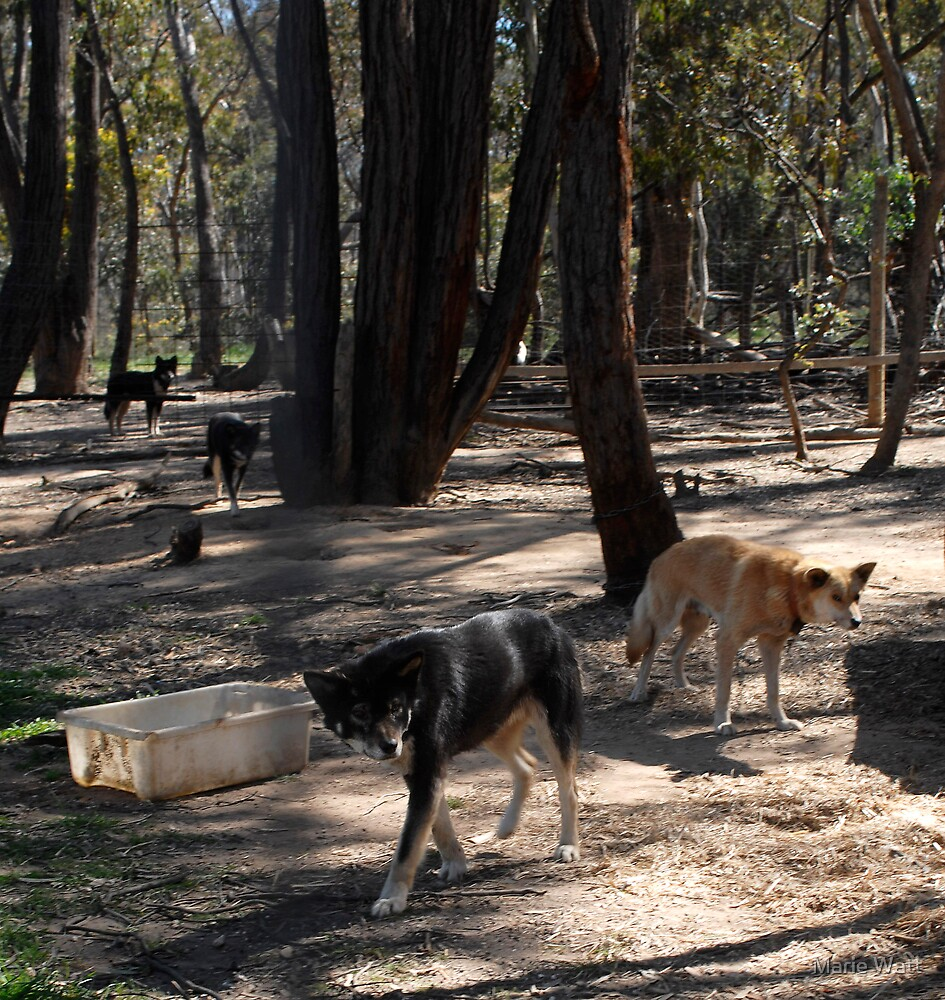 Black Dingoes by Marie Watt