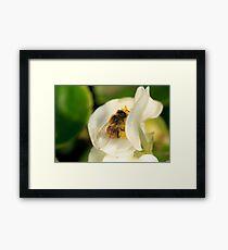 Bee on white Begonia Framed Print