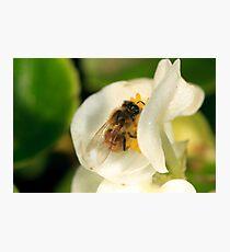 Bee on white Begonia Photographic Print