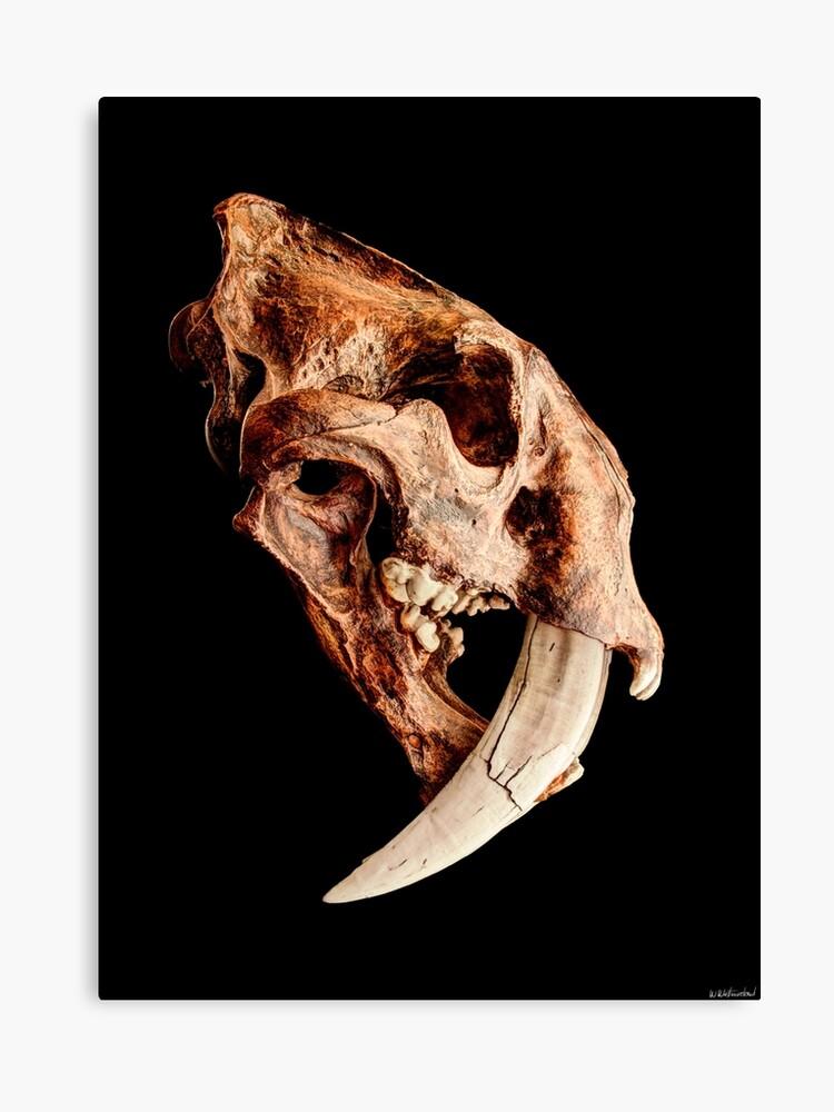 687fe83cf Smilodon fatalis Skull 1