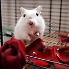 Gerbil with rose 4 by Monica Carvalho (mofart_photomontages)