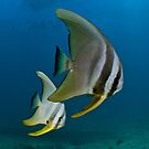 Batfish Pair by Ross Gudgeon