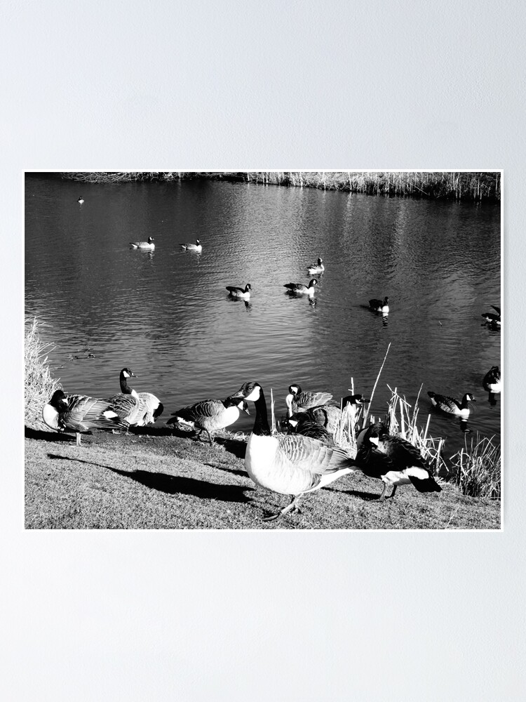 Alternate view of When ducks keep staring at you Poster
