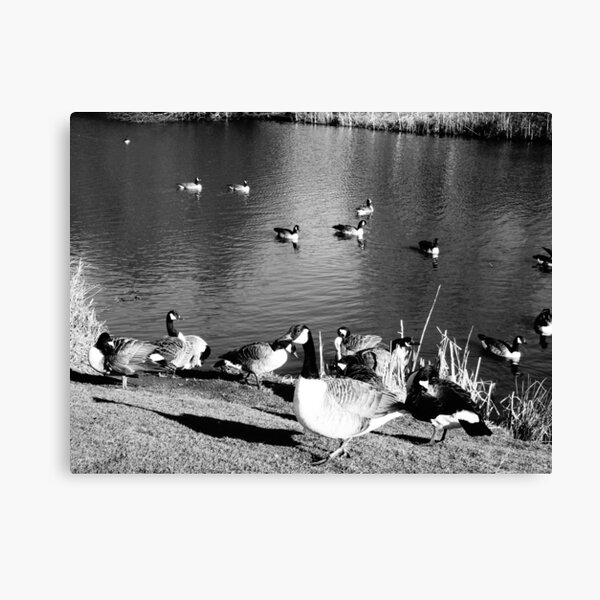 When ducks keep staring at you Canvas Print