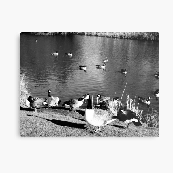 When ducks keep staring at you Metal Print