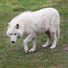 White Wolfdog by Olga