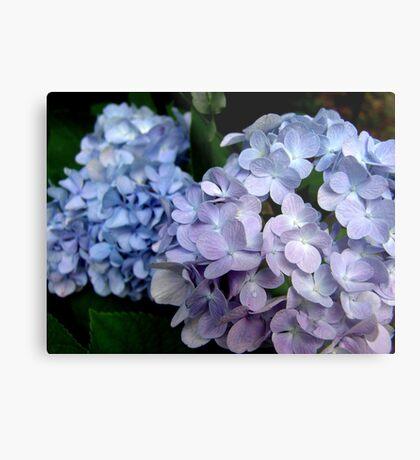 Lavender and blue hydrangea Metal Print